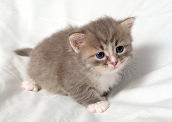Small cute kitten.