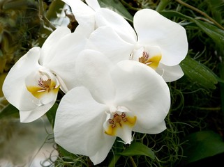 white orchid flowers close up