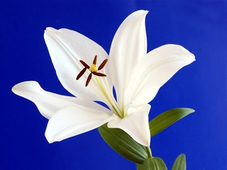 white lily with brown pollen 0n blue background