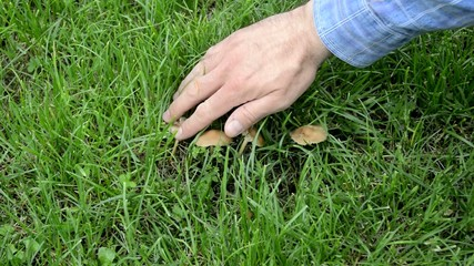 Mans hand showing and picking mushrooms