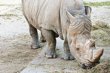 Rhinoceros (Ceratotherium simum simum)