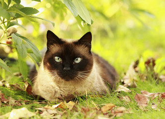 Siamese cat in a green grass