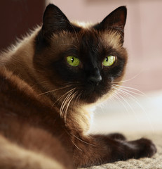 Siamese cat with green eyes