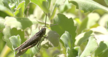 A grasshopper on the leaf 4K FS700 Odyssey 7Q