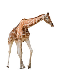 isolated on white large giraffe