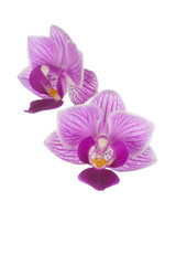 Two pink orchids on a white background