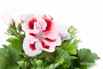 Red-white flower of a two-color geranium