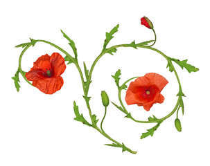 red poppy flower ornament element on white