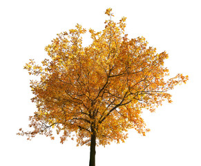 brown fall oak tree isolated on white