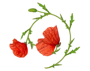red poppy flower isolated ornament element