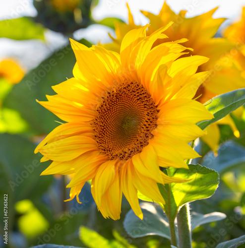 Aluminium Zonnebloemen sunflowers