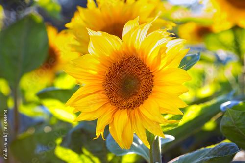 Tuinposter Oranje sunflowers