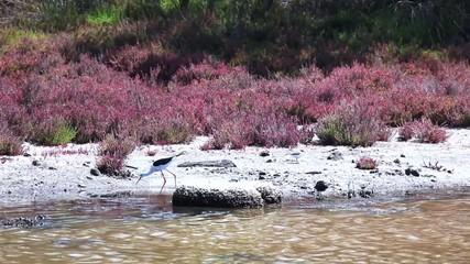 Cigüeñuela y chorlitejo patinegro rio Guadalhorce.