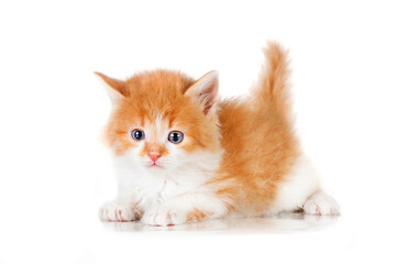 Sweet little red kitten with blue eyes