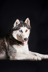 Portrait of siberian husky with different colored eyes