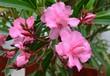 canvas print picture - Oleander blüht rosa gefüllt