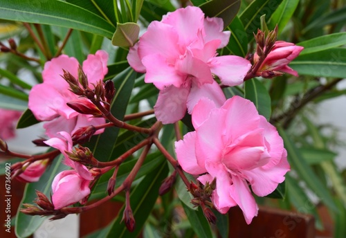 canvas print picture Oleander blüht rosa gefüllt