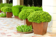 canvas print picture - Garden pots with lush bushes