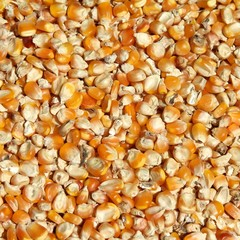 Corn seeds background