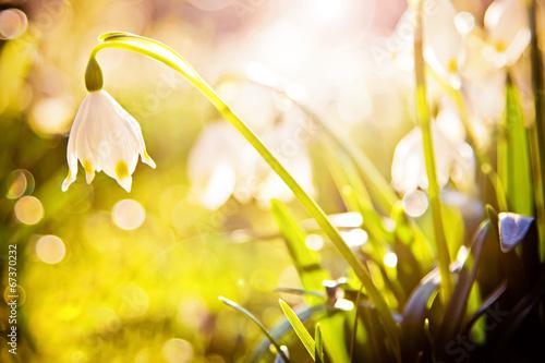 Fotobehang Krokus Märzenbecher im Frühlingslicht