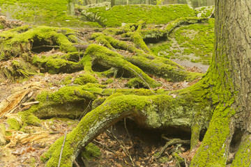 Moss Tree Roots Forest