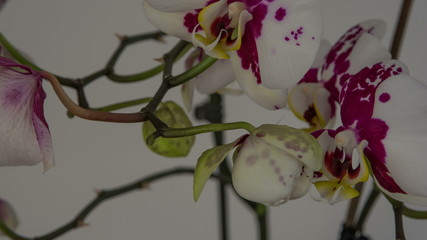 Phalaenopsis Moth Orchid blooming  5 days 4K