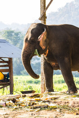 Thai Elephant Eating