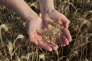 Agriculture, agronomist examine wheat field hand and crop