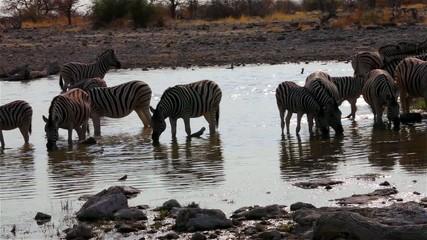 zebras on waterhole