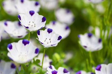Close up of nemophila maculata