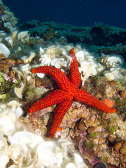 Underwater photograph of a Red Star