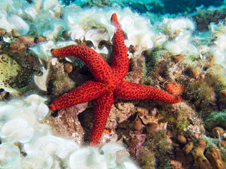 Underwater Photograph of a Red Starfish