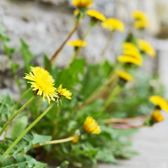 Yellow taraxacum flower composition