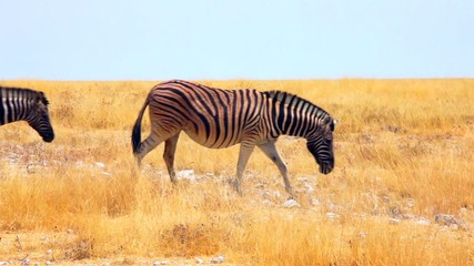 Zebra herd get to the plains