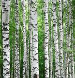 Birches background