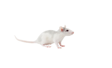 cute rat on a white background isolated