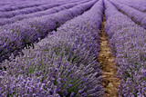 Fields of lavender close up - 67381826