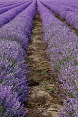 Fields of lavender close up
