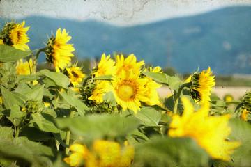 Vintage  blooming sunflower field