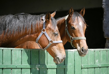 Headshot of two thoroughbred horses