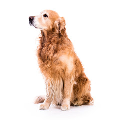 Beautiful dog golden retriever sitting down