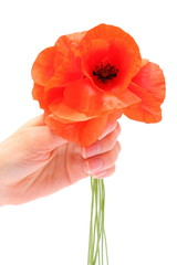 Bouquet of red poppy flowers on white background