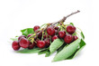 bunch of ripe cherries