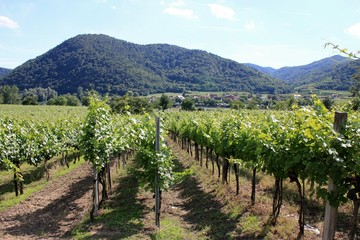 Grape vines at winery in Austria, Wachau Valley