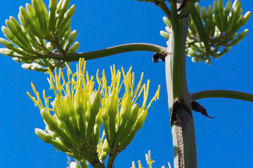 Agave starts to bloom
