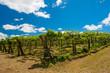 Kiwi plantation - 67389099