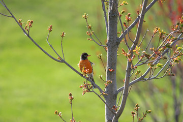 Robin bird on the branch of a tree