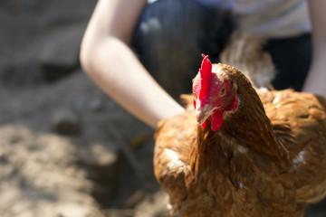 Kind vangt bruine kip