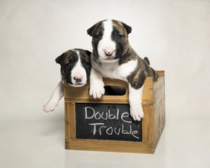 Two bull terrier puppies in a box