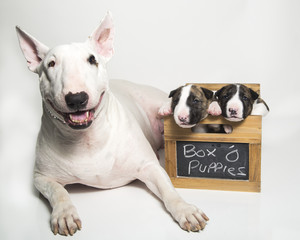Mom bull terrier posing with her puppies